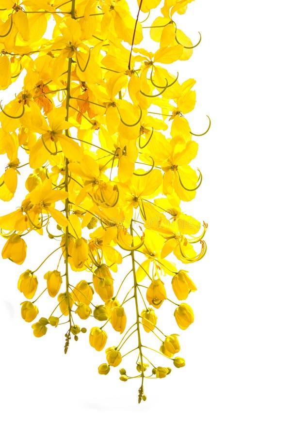 Fistule d'or de casse de douche, belle fleur dans l'heure d'été image libre de droits