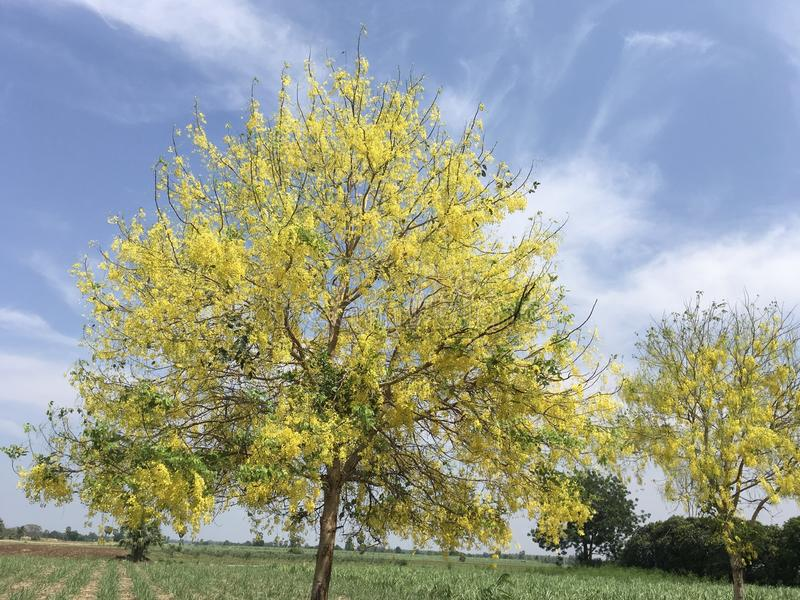 Fistule d'or jaune tropicale L de casse de fleurs de douche avec le beau ciel bleu le jour ensoleillé photo libre de droits
