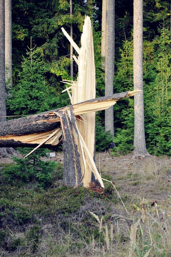 Fiszorek, karcz łamany świerkowy drzewo w lesie po burzy/ Burze jak to są bardzo pospolitym opłatą ostatnio zmiana klimatu obrazy royalty free