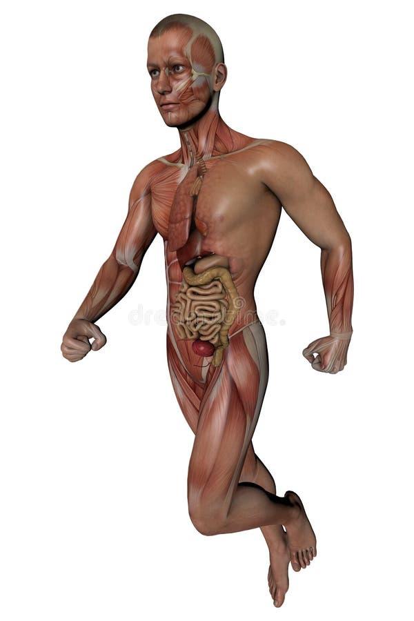 Fitness Man Body Anatomy Stock Illustration Illustration Of