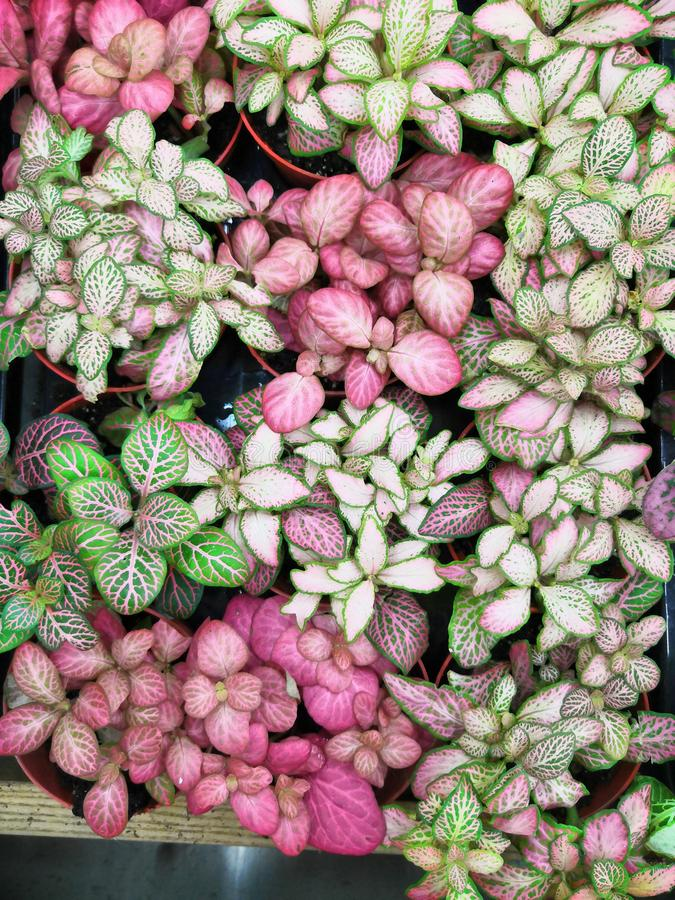 Fittonia. Colorful flowers on fittonia in the garden. Close up green and red pattern leaves. royalty free stock photos