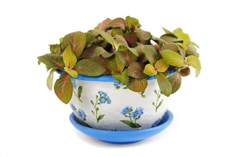 Fittonia del Houseplant nel flowerpot di bellezza fotografie stock libere da diritti