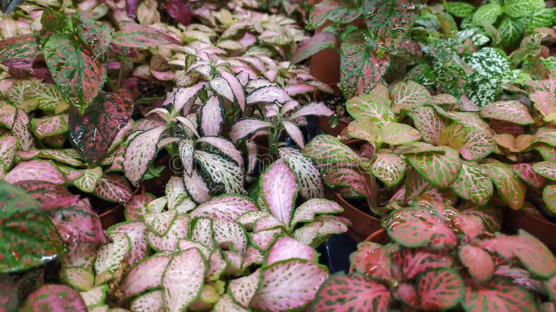 Close up Fittonia tropical house plant stock photo