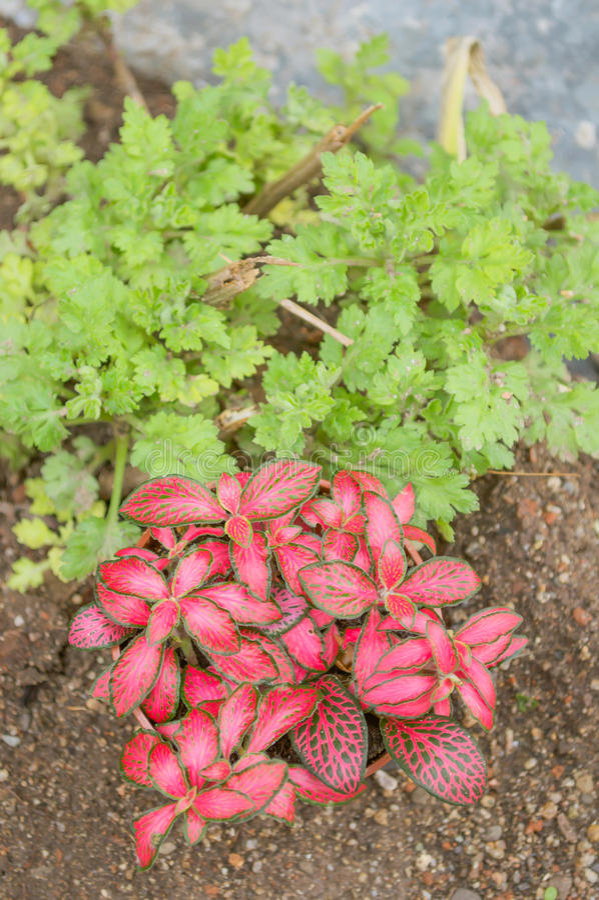 Fittonia(Fittonia verschaffeltii) stock image