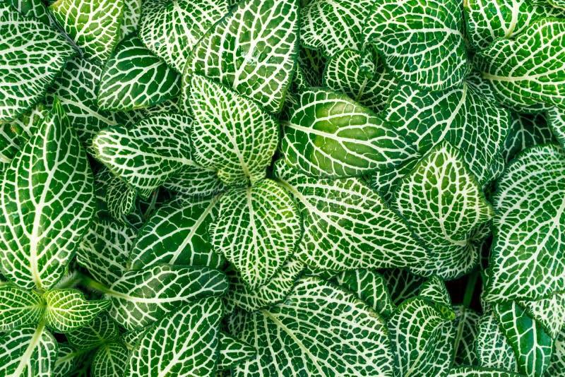 Fittonia plant coloseup royalty-vrije stock foto