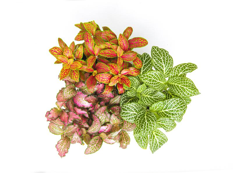 Fittonia potted houseplant colorful mix flower view from above isolated on white background royalty free stock image