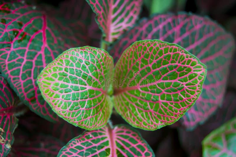 Fittonia verschaffeltii zdjęcie stock