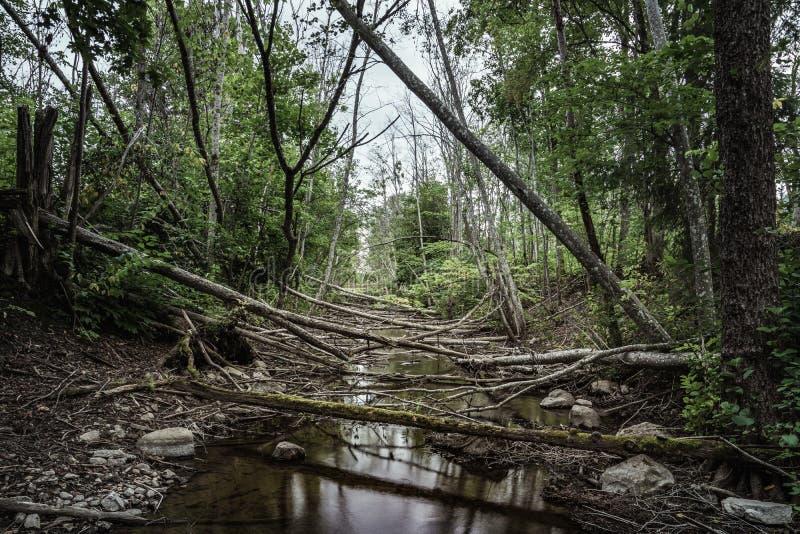 Fiume basso su acqua dovuto attività del castoro fotografia stock