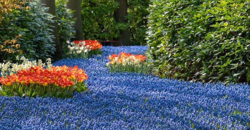 Fiume del muscari blu dei giacinti dell'uva e dei tulipani rossi ai giardini di Keukenhof, Lisse, Paesi Bassi Keukenhof ? conosci fotografia stock libera da diritti