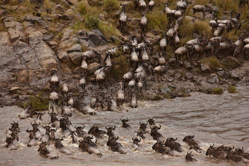 Fiume dell'incrocio del Wildebeest fotografia stock