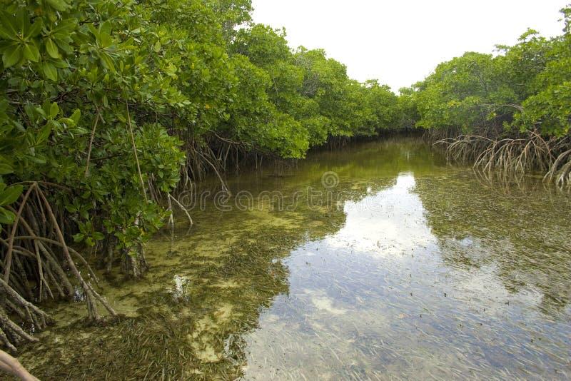 Fiume della mangrovia fotografia stock libera da diritti