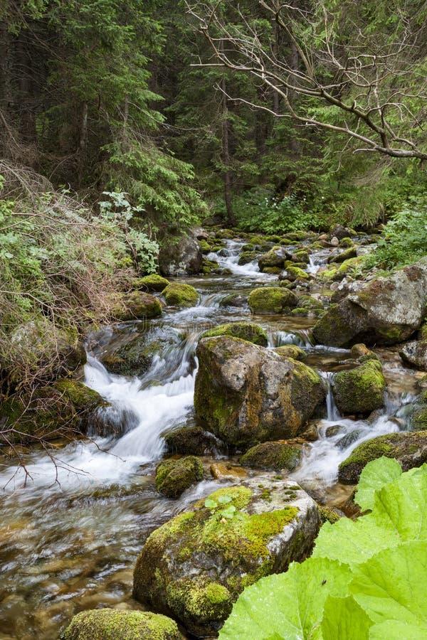 Fiume della montagna della foresta Insenatura della montagna Tatras fotografia stock libera da diritti