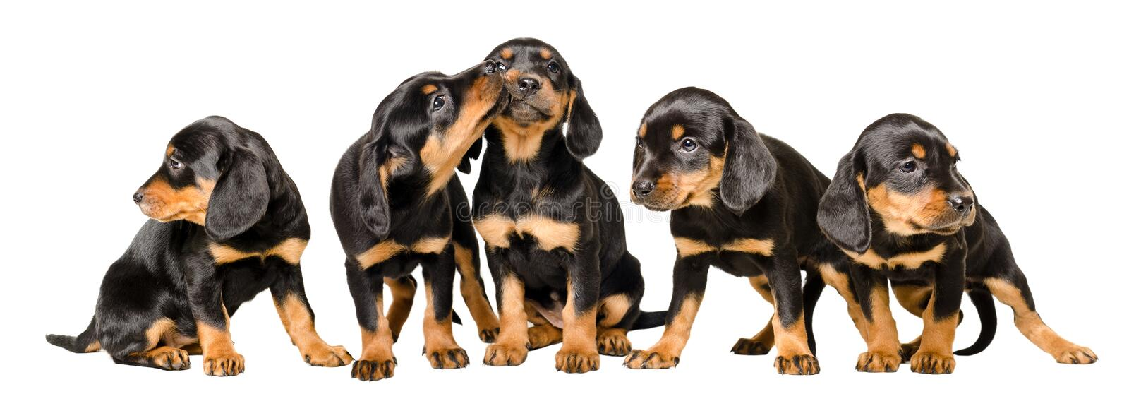 Five adorable puppies together stock images