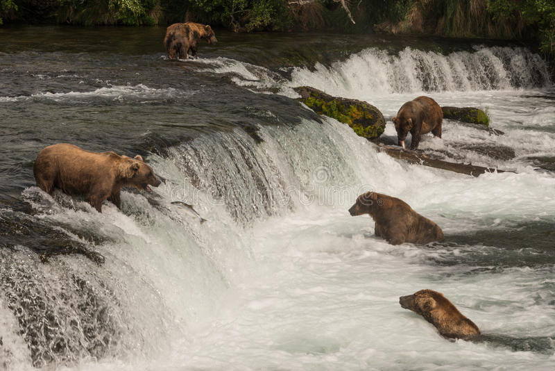 Five bears salmon fishing at Brooks Falls royalty free stock photos