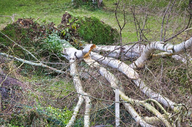 Five big birch trees are downed in garden after strong tornado and wing storm. Disaster for insurance company. In France Europe royalty free stock photography