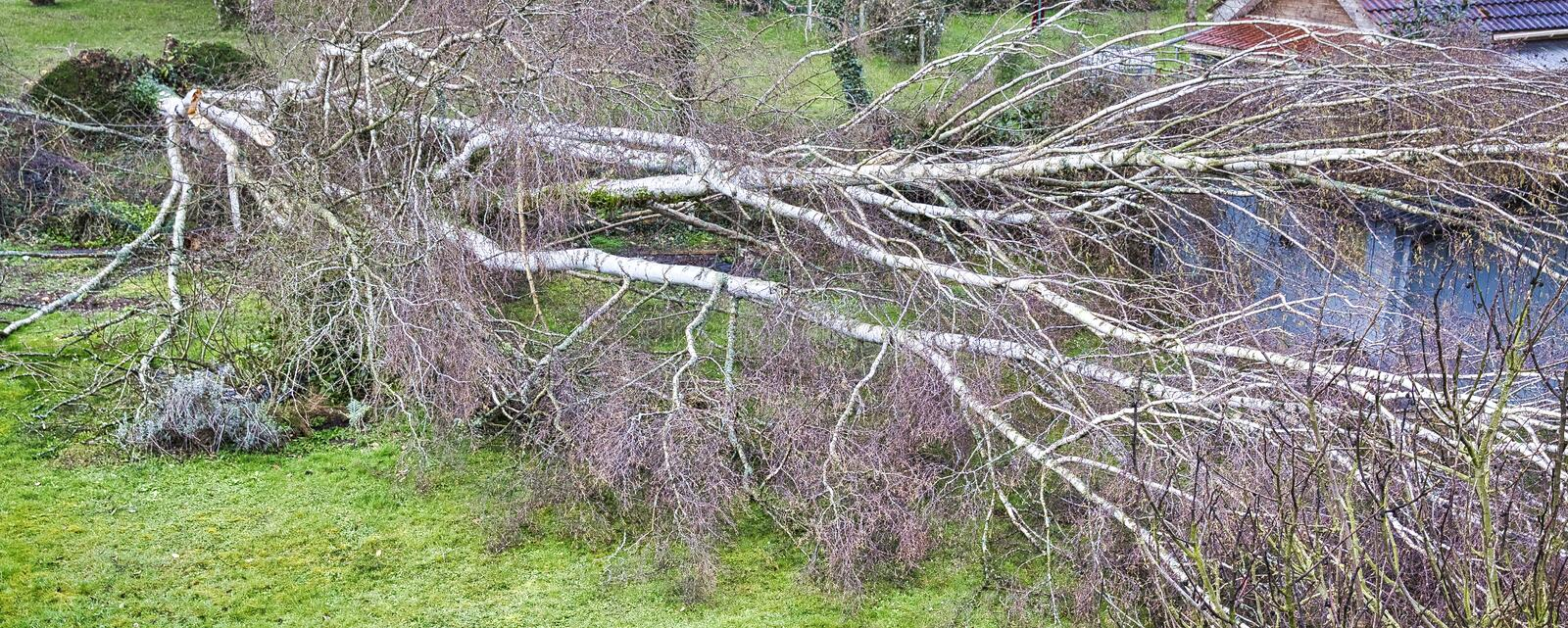 Five big birch trees are downed in garden on wooden roof garage after strong tornado and wing storm. Disaster for insurance. Close up five big birch trees are stock photos