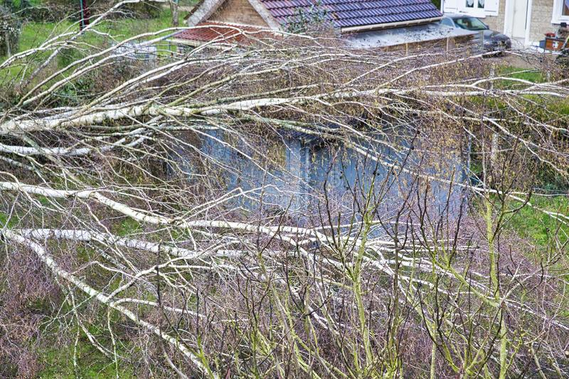 Five big birch trees are downed in garden on wooden roof garage after strong tornado and wing storm. Disaster for insurance. Close up five big birch trees are royalty free stock image