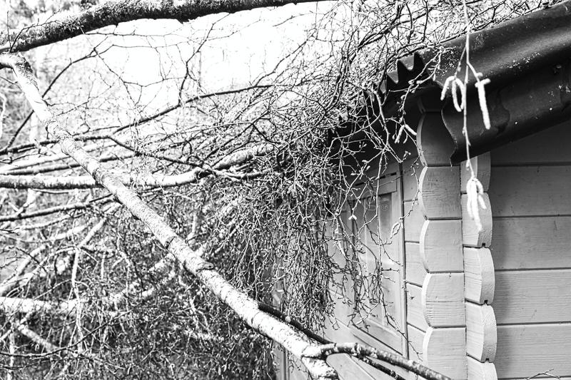 Five big birch trees are downed in garden on wooden roof garage after strong tornado and wing storm. Disaster for insurance. Close up five big birch trees are stock images
