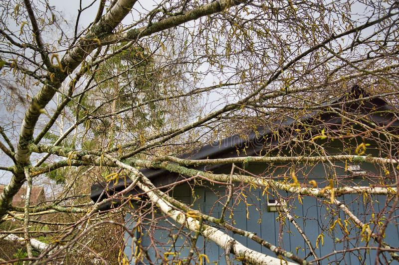 Five big birch trees are downed in garden on wooden roof garage after strong tornado and wing storm. Disaster for insurance. Close up five big birch trees are royalty free stock photo