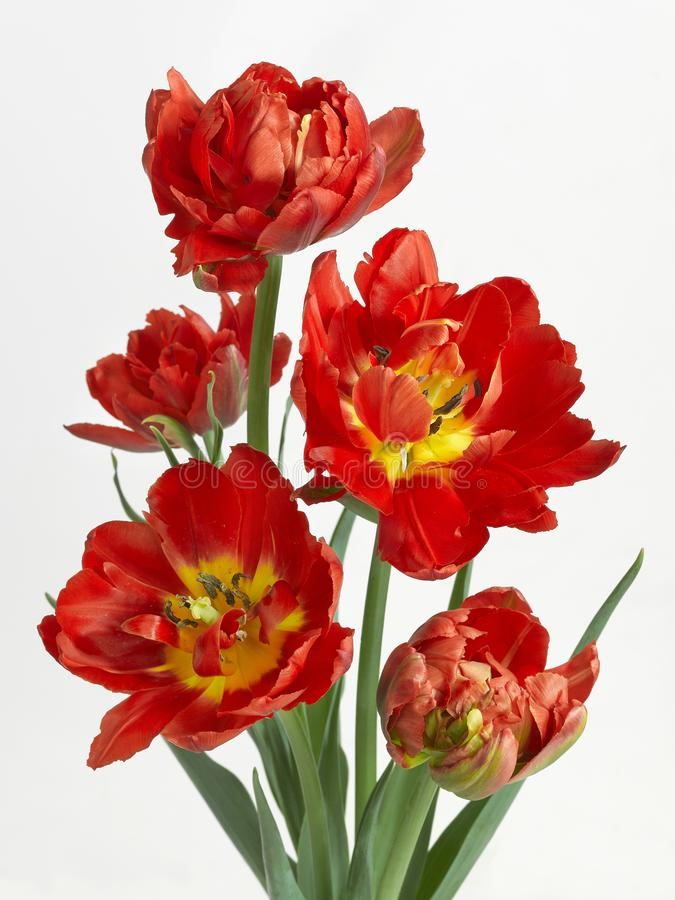 Five bright red terry tulips on a white background 27184 stock images