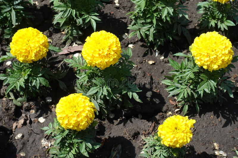 Five bright yellow flowers of marigold in may stock photo image of download five bright yellow flowers of marigold in may stock photo image of floret mightylinksfo