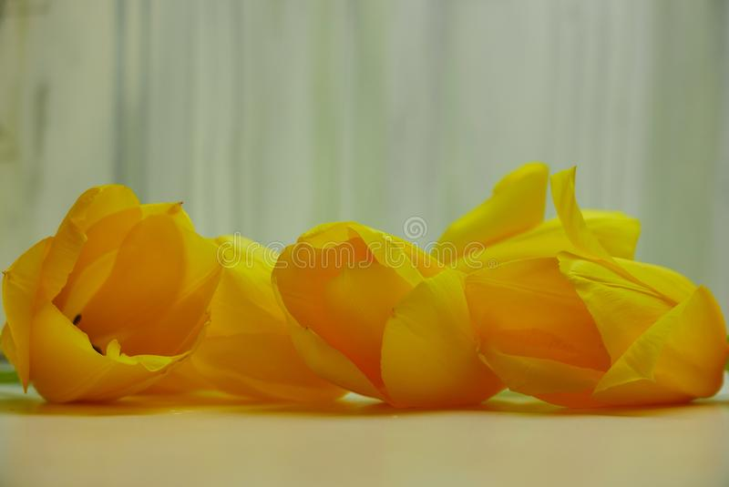 Five bright yellow tulips on a table top with a soft gray textured backdrop royalty free stock photography