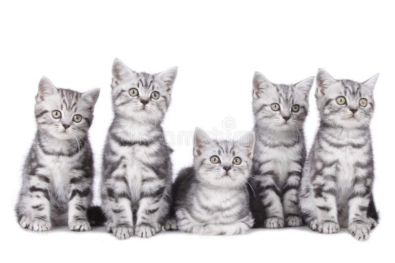 Five british short hair kitten royalty free stock photo