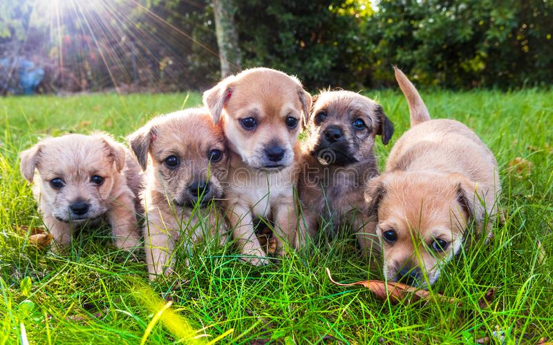 Five brown puppies in the grass. Five brown puppies playing in the grass royalty free stock photo