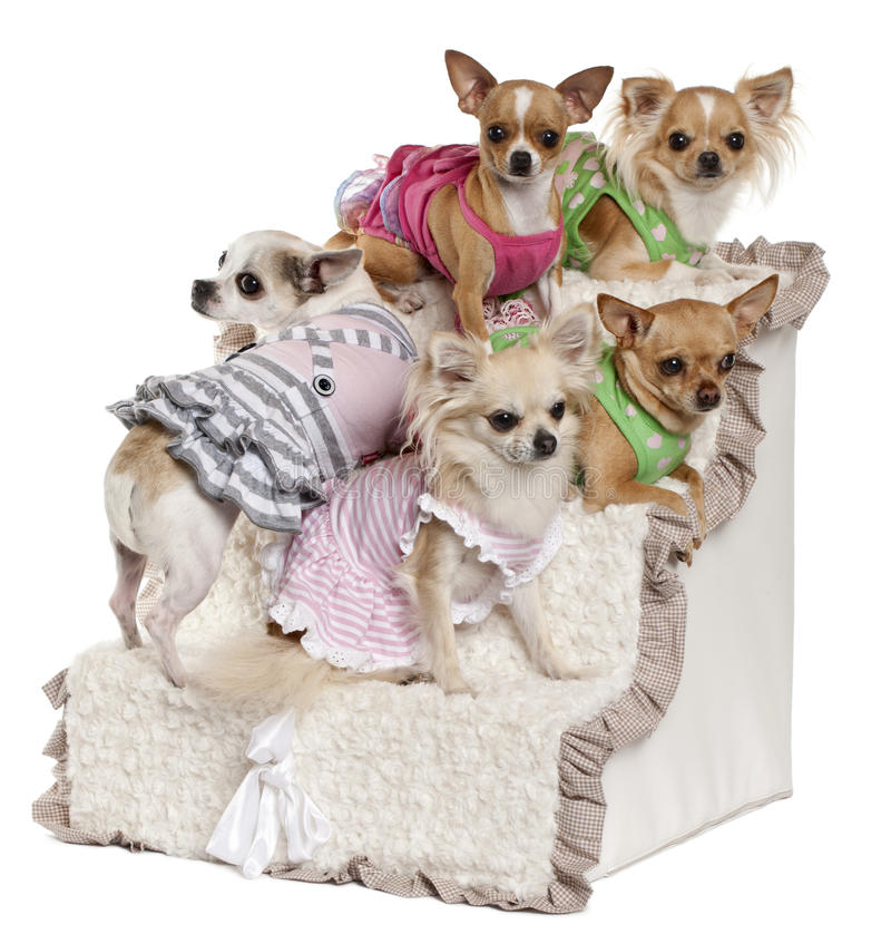 Download Five Chihuahuas Sitting On Steps Stock Image - Image: 22173893