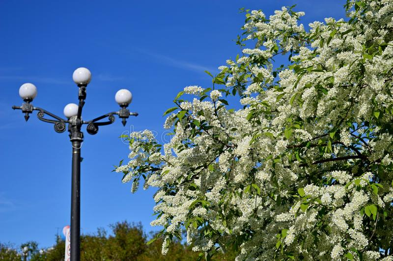 Blooming cherry tree against the blue sky royalty free stock photography