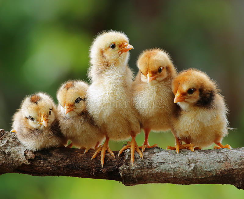 Download Five of cute chicks stock image. Image of animals, cute - 26621449