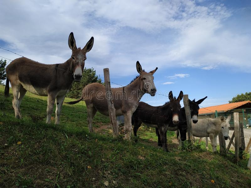 Five cute donkeys on farmland. Farm animals concept. Domestic animals background. Donkeys looking at the camera. Rural life background stock photo