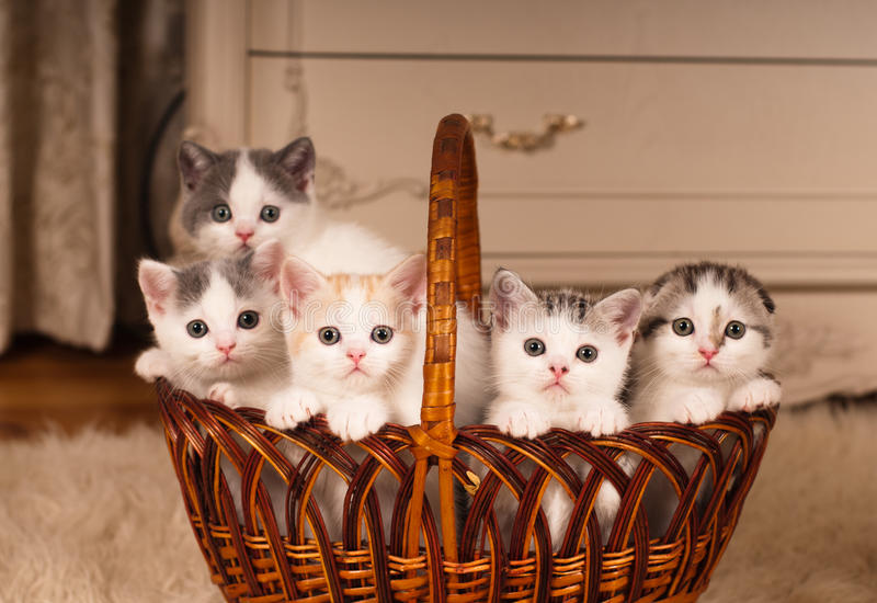 Five cute kittens in braided basket royalty free stock images