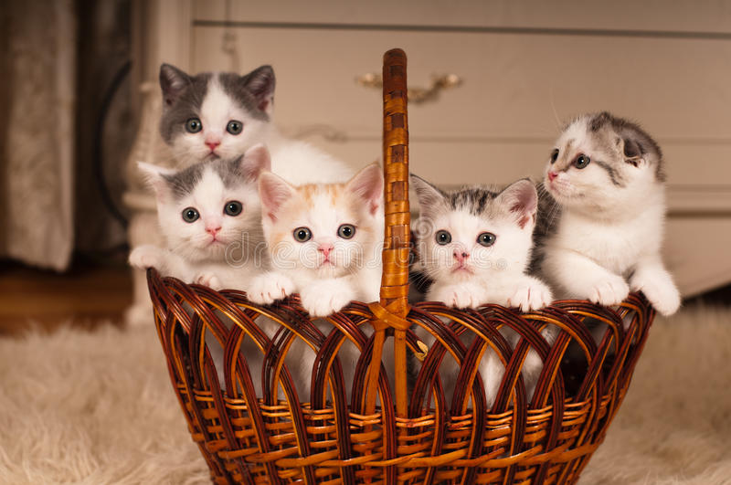 Five cute kittens in braided basket royalty free stock photos