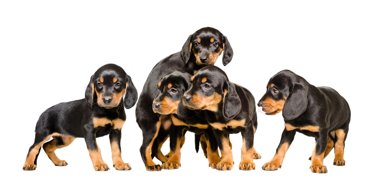Five cute puppy Slovakian Hund together royalty free stock photography