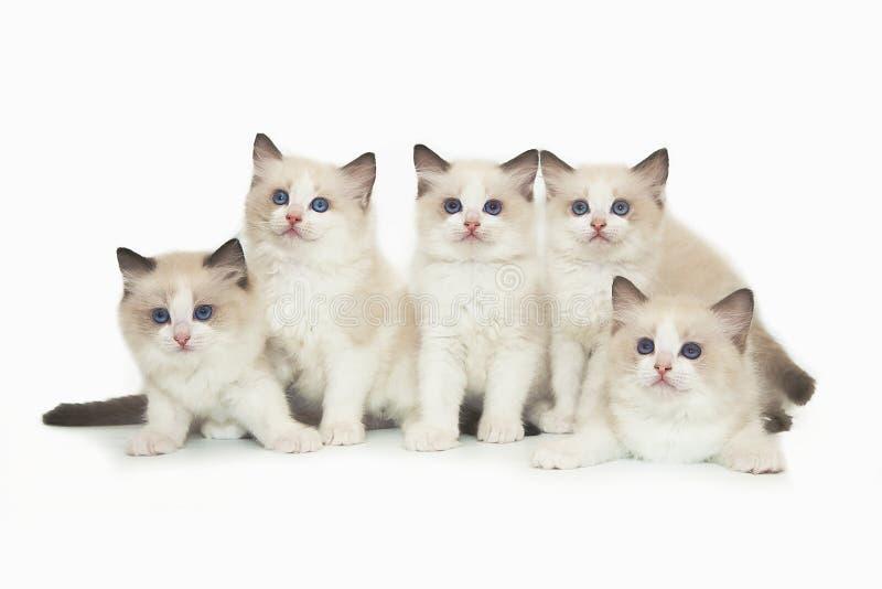 Five cute white ragdoll kitten on white background. stock photos
