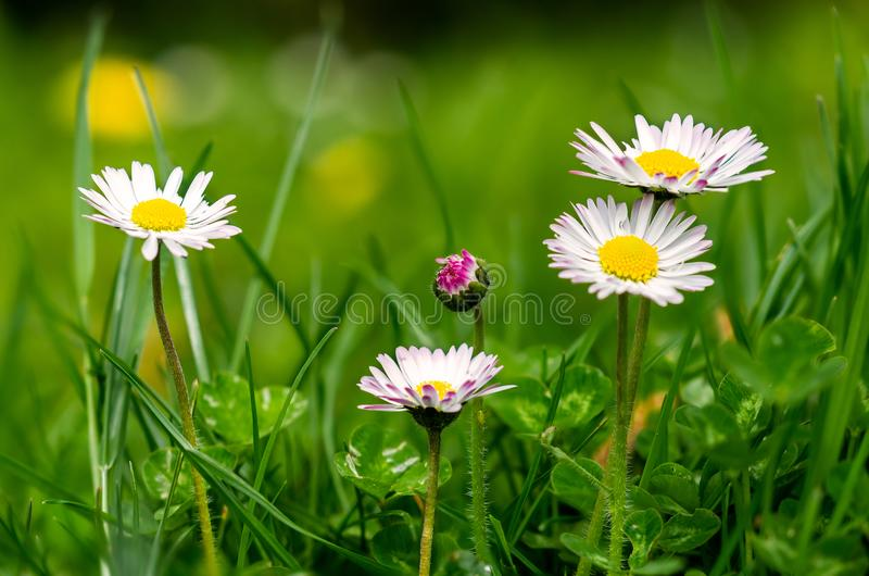 Five daisies in the meadow. Five Daisies in a meadow, one in bud and aphid on a stalk royalty free stock images