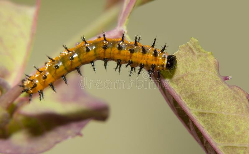 Five days old Gulf Fritillary butterfly caterpillar eating a Passion flower leaf royalty free stock photos