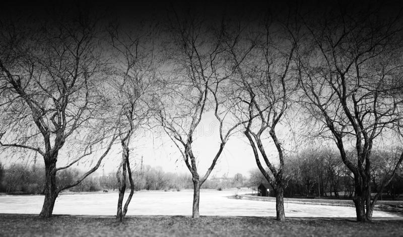 Five dramatic black and white trees in park royalty free stock image