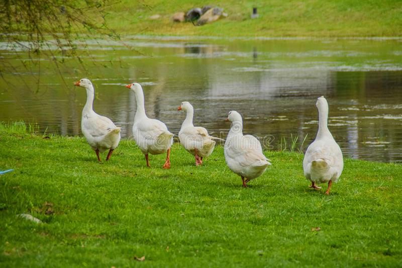 Ducks walking in a row stock photography