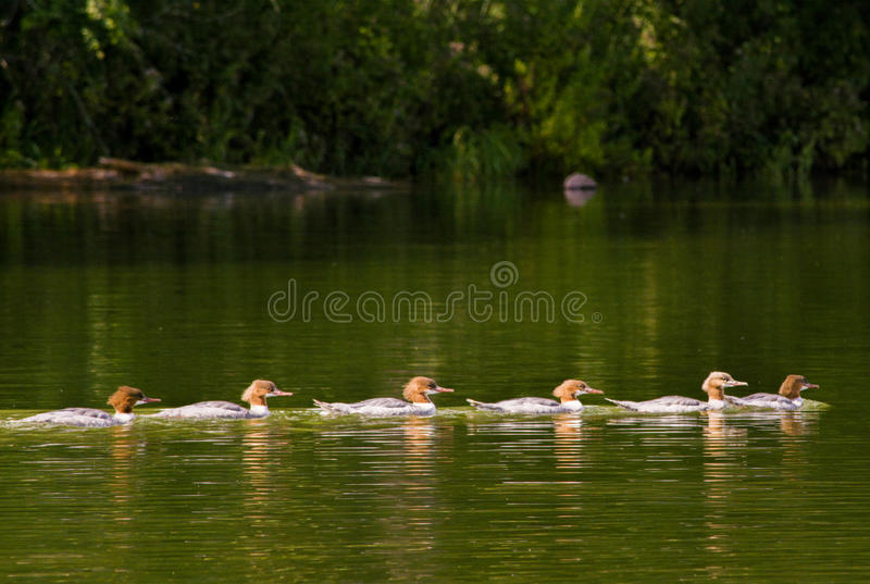 Five ducks. In the water stock image