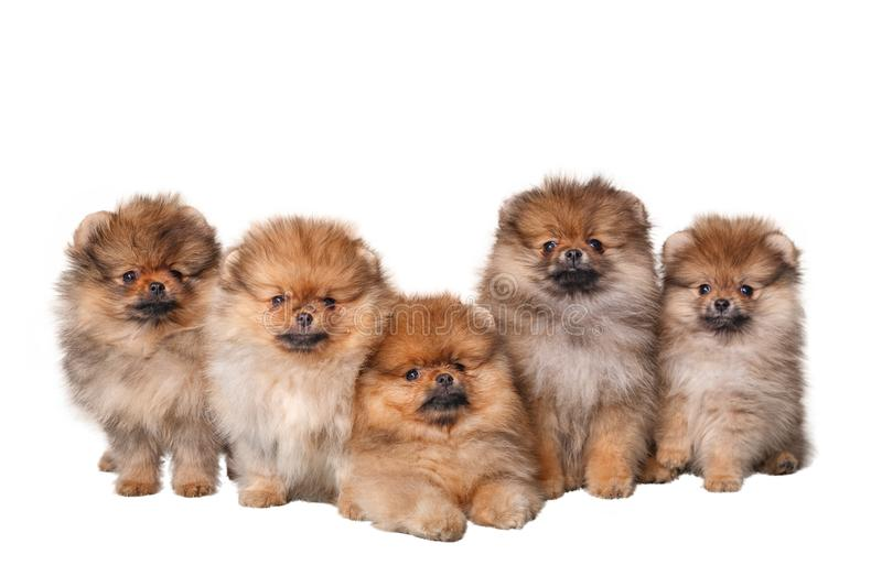 Five furry Spitz puppies on white background stock photography