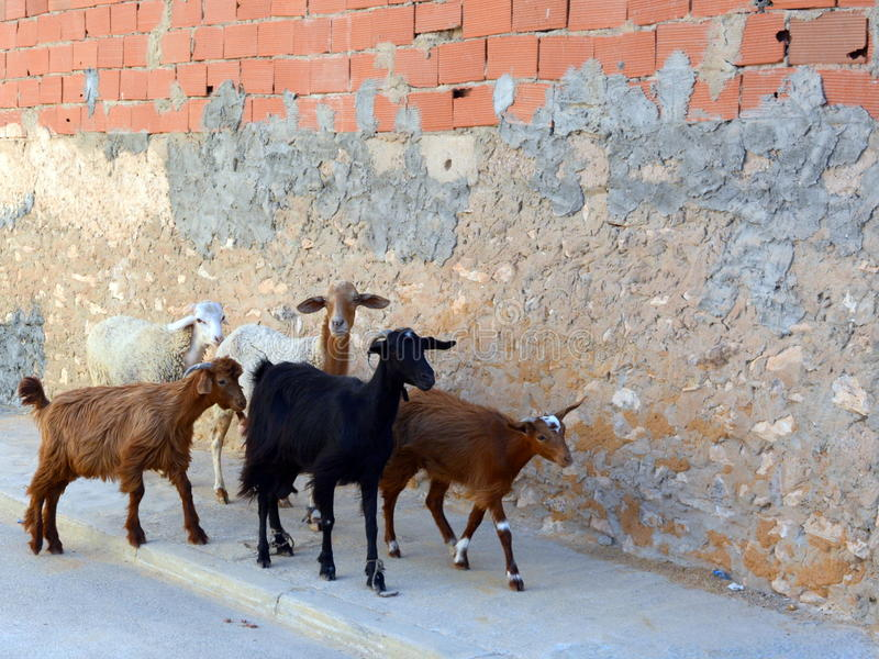 Five goats on the walk in the street. Goats on the walk in the street stock image