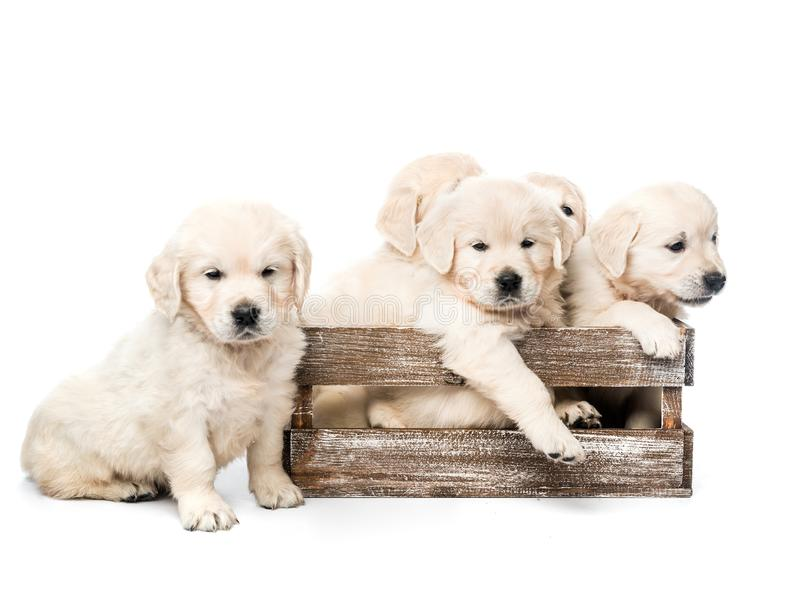 Five golden retriever puppies together isolated royalty free stock photos