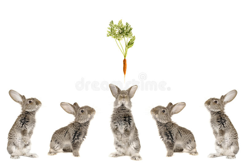 Five grey rabbit stock images