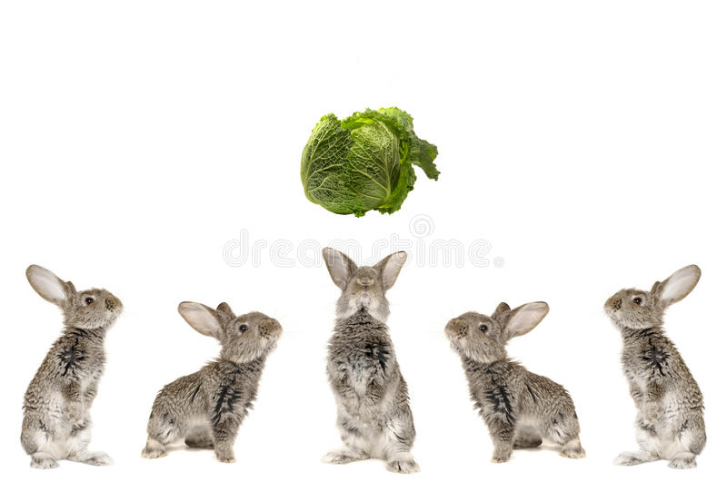 Five grey rabbit. On a white background stock images