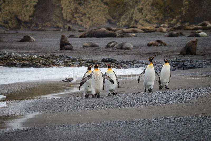 Five king penguins walk down the beach on Right Whale Bay. South Georgia stock photo