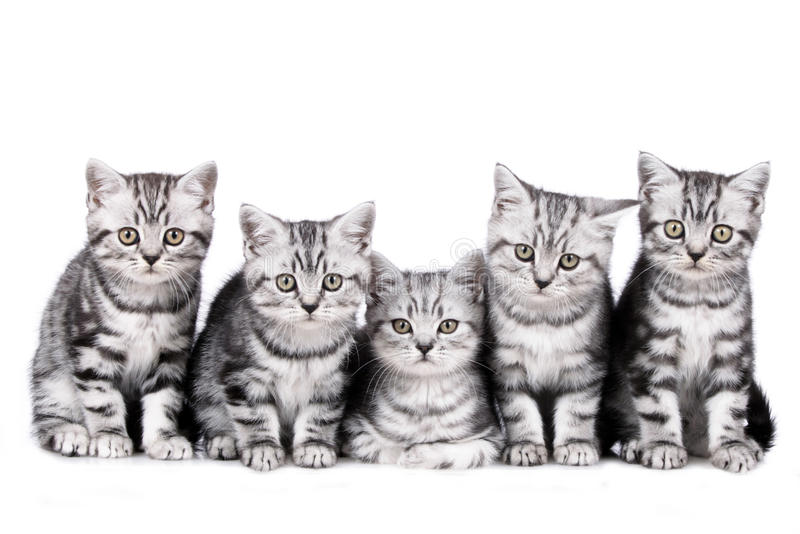 Five kitten isolated royalty free stock photo
