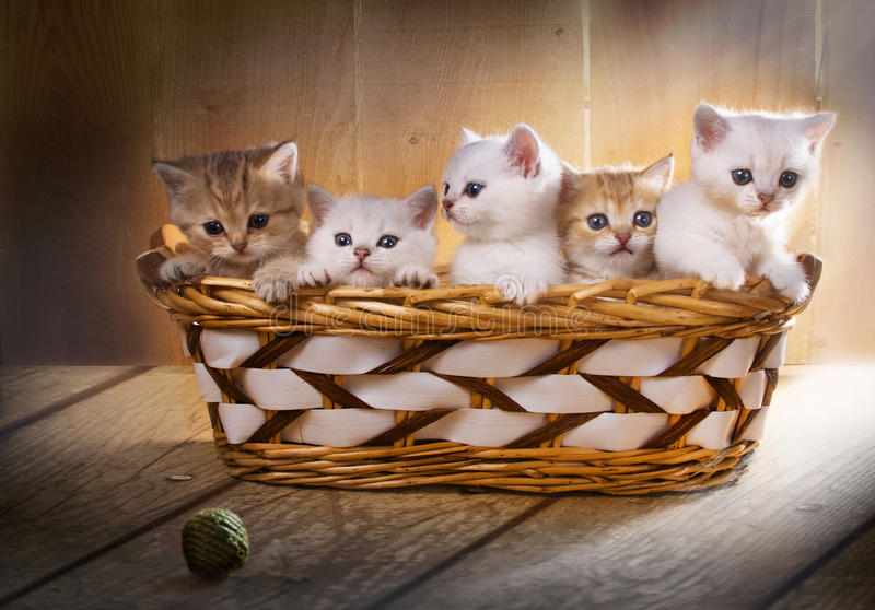Five kittens of British Shorthair breed in the basket royalty free stock images