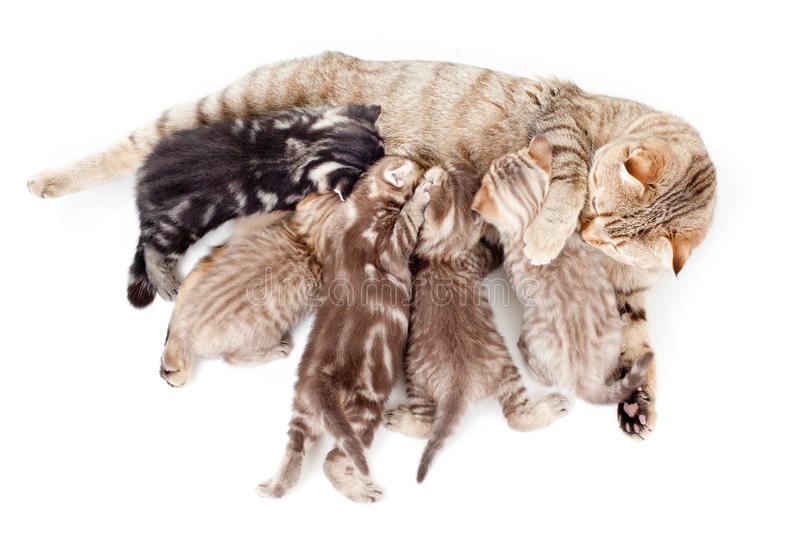 Download Five Kittens Brood Feeding By Mother Cat Stock Image - Image: 24308861
